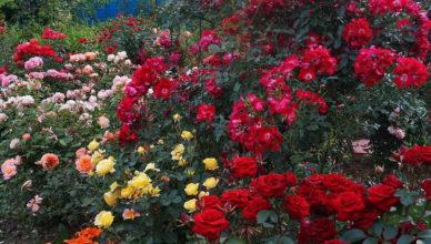 róże z allegro