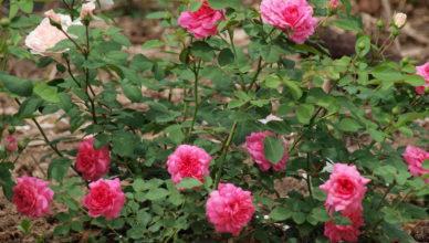 róże choroby zakaźne