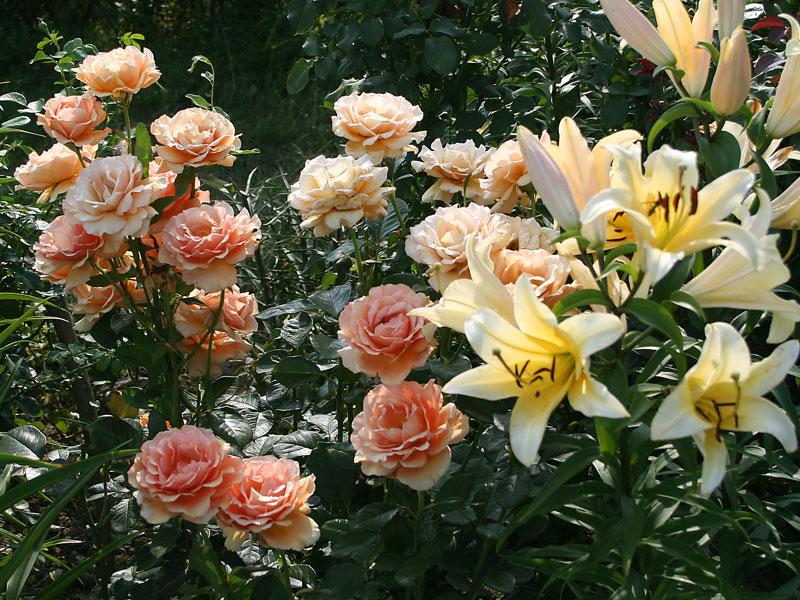róże ceny