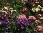 Róże niebieskie, czyli o podróży do ideału