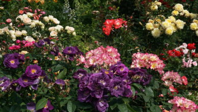 róża fioletowa