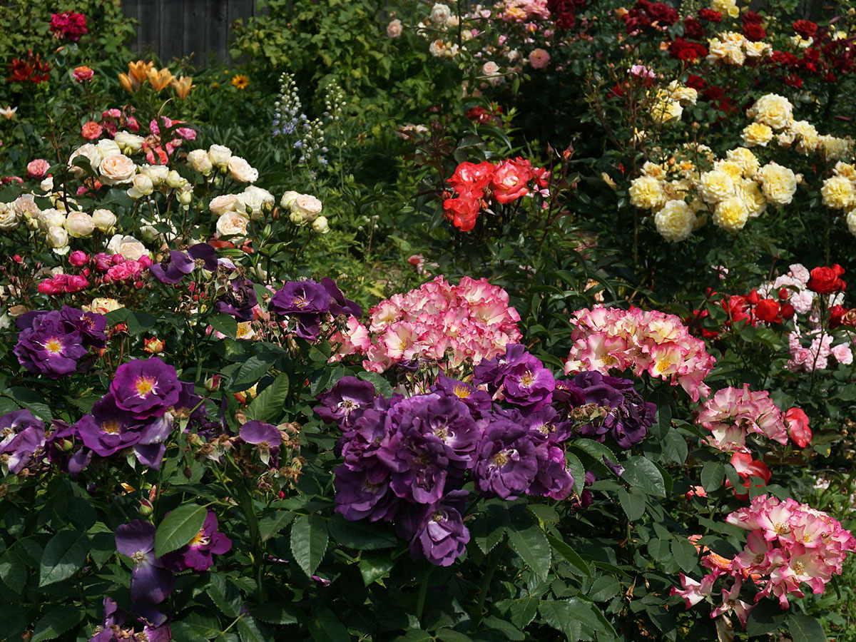 Róże niebieskie, czyli opodróży doideału