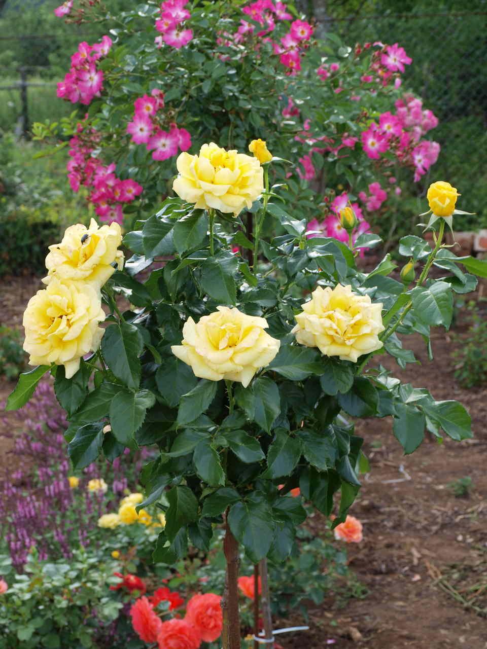 hurtowy zakup róż