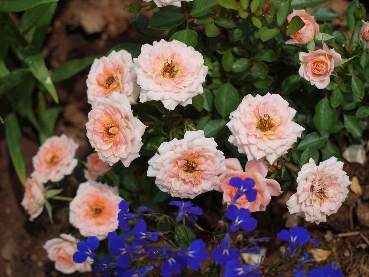 róża hurtownia