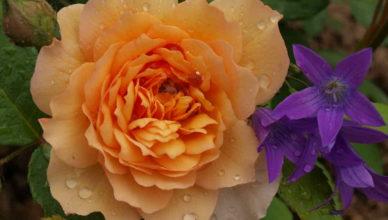 hurtownia róż