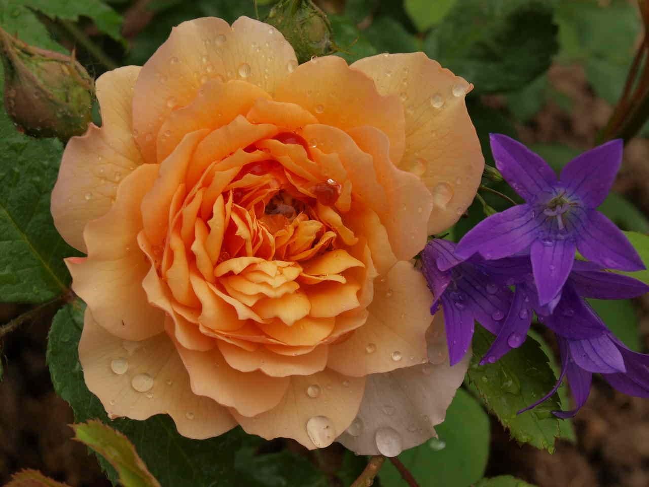 Hurtownie róż – rzut oka namasową produkcję kwiatów