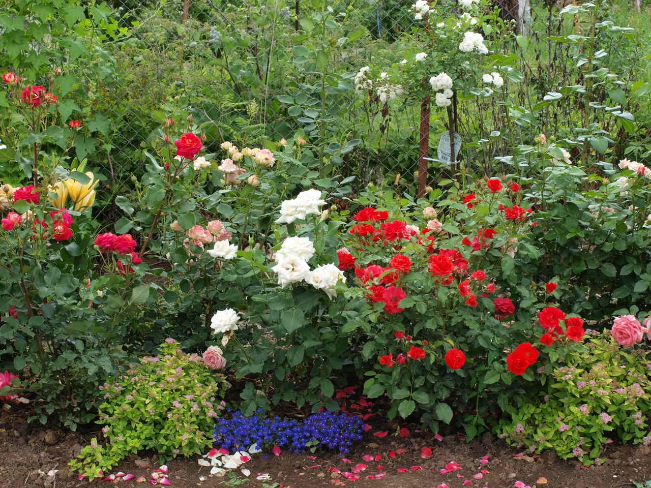 odmiany róż kanadyjskich