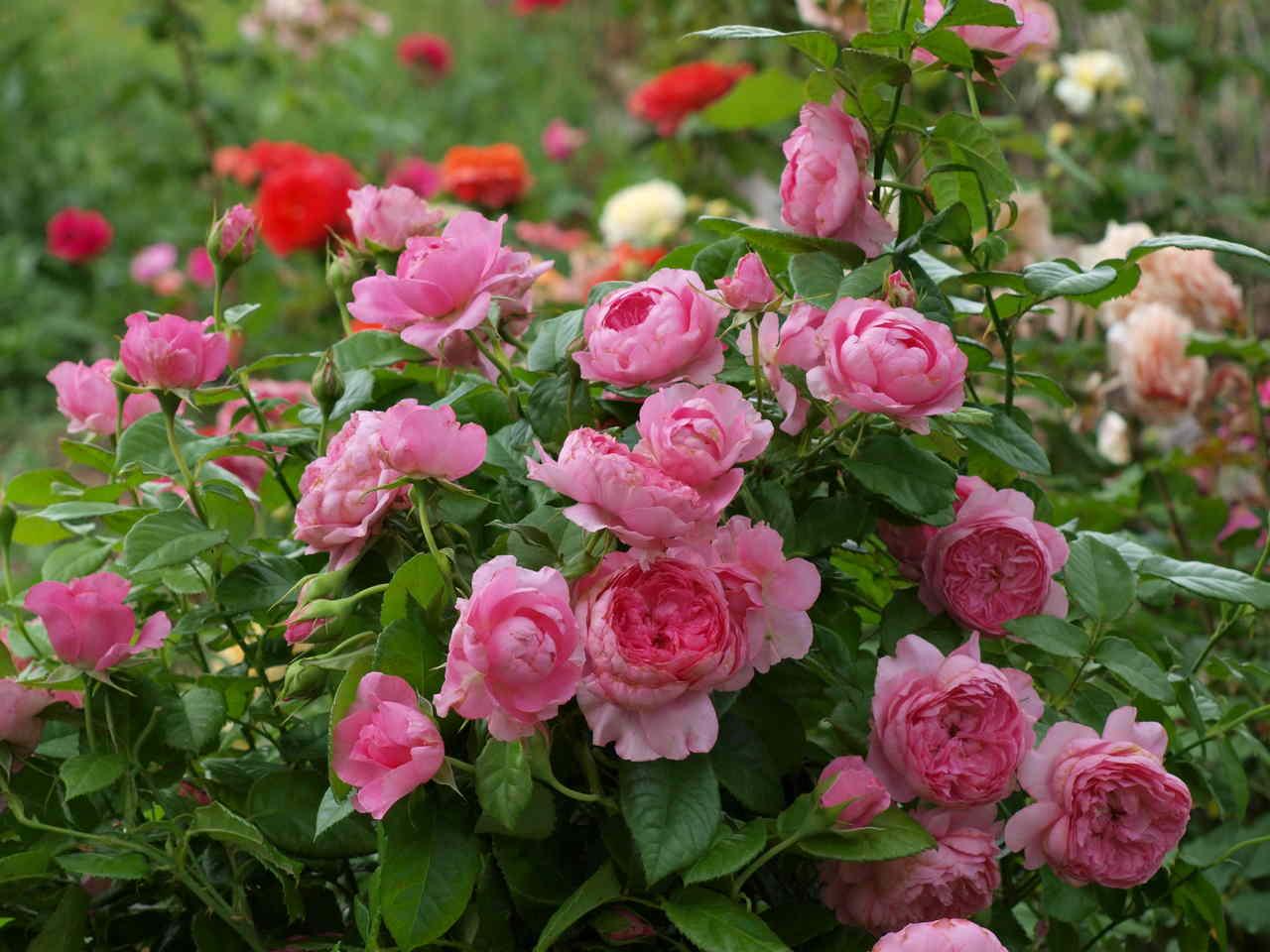 mrozoodporne odmiany róż kanadyjskich