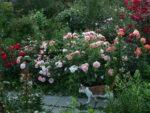 Róże kanadyjskie – królowe wytrwałości