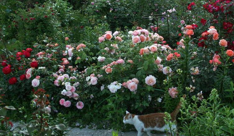 róże kanadyjskie odmiany