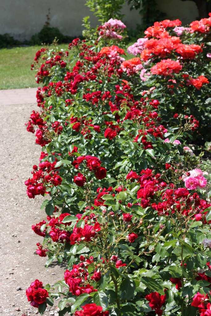 uprawa sadzonek róż