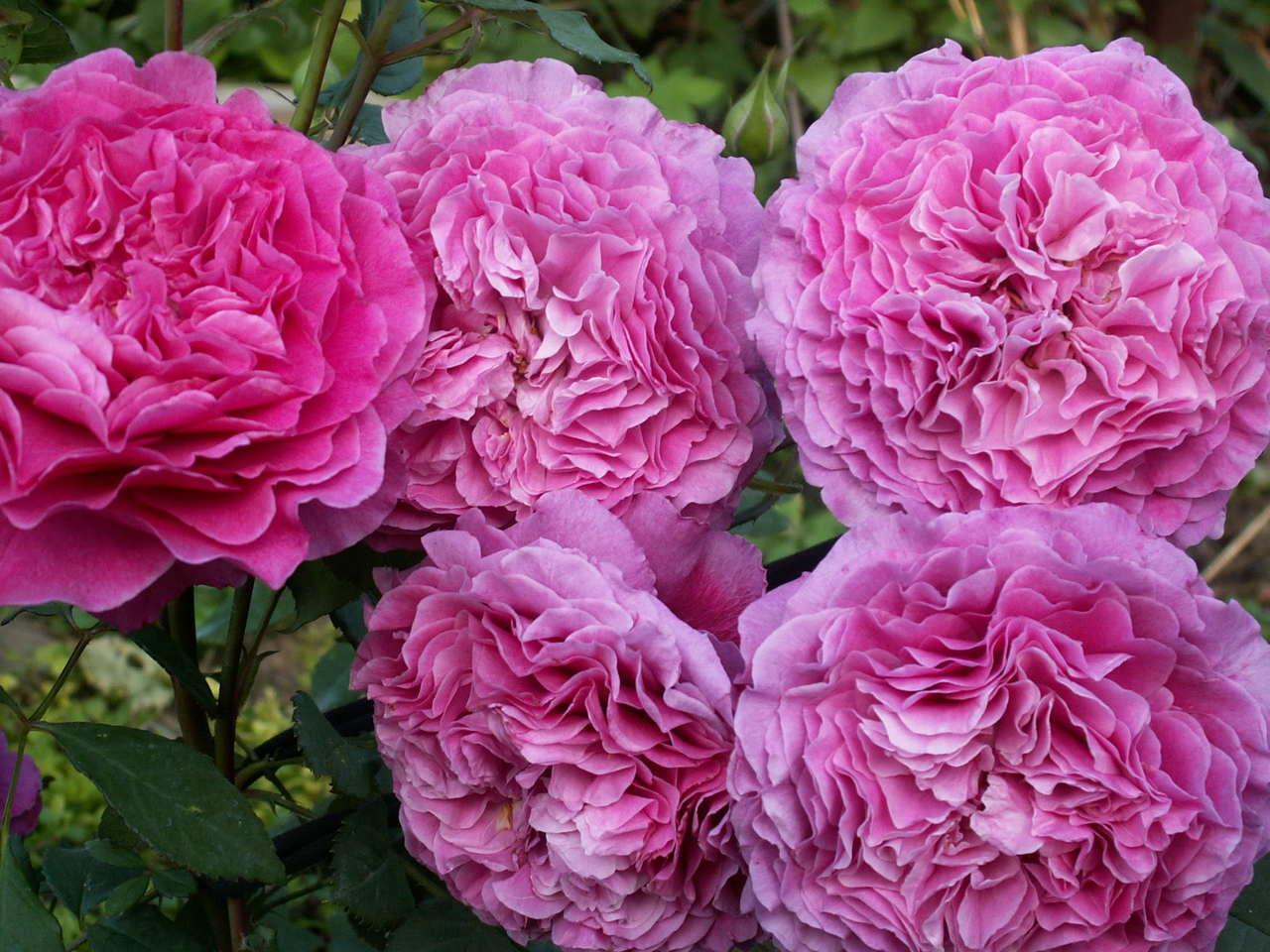 uprawa krzewów róż