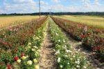 Od sadzonki do kwiatu, czyli o uprawie róż raz jeszcze