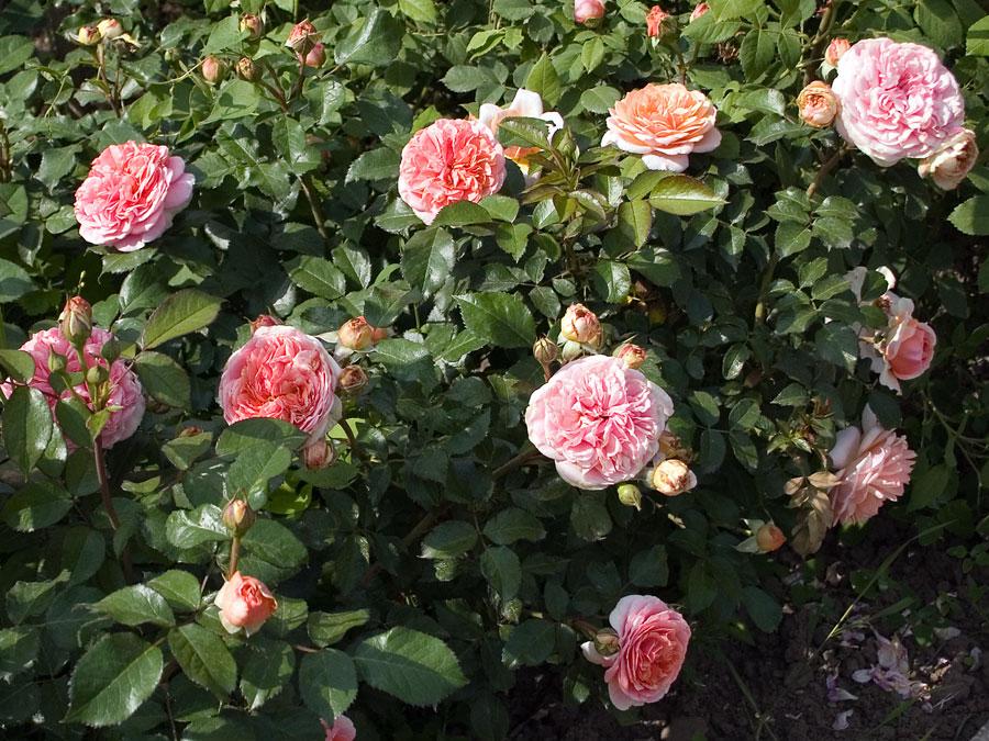 róże niskie
