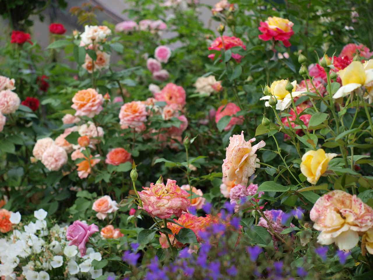 uprawa niskich róż rabatowych