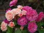Róże rabatowe – więcej, niż kolorowe dywany