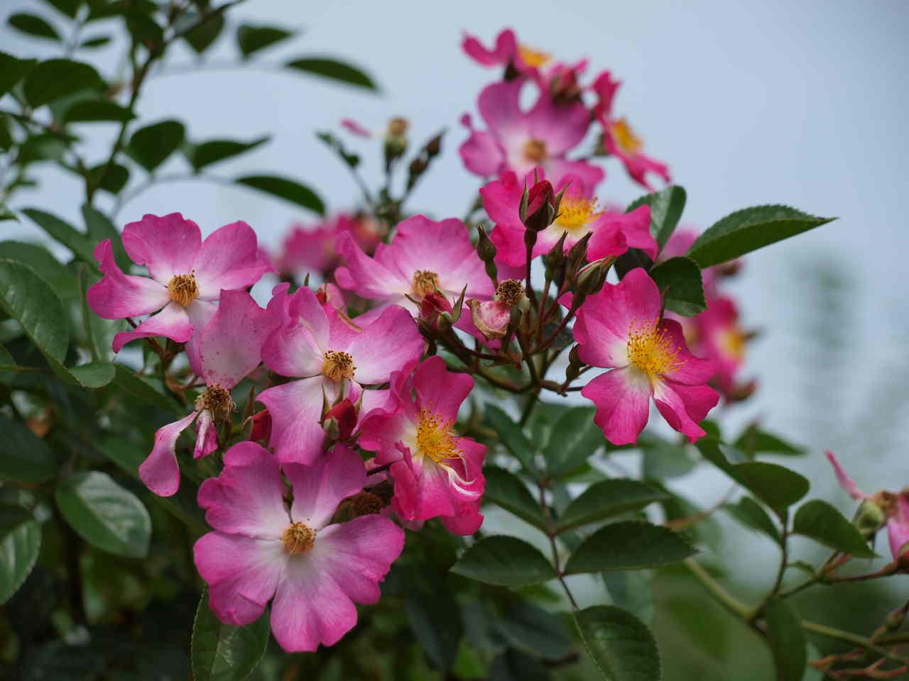 róże konfiturowe