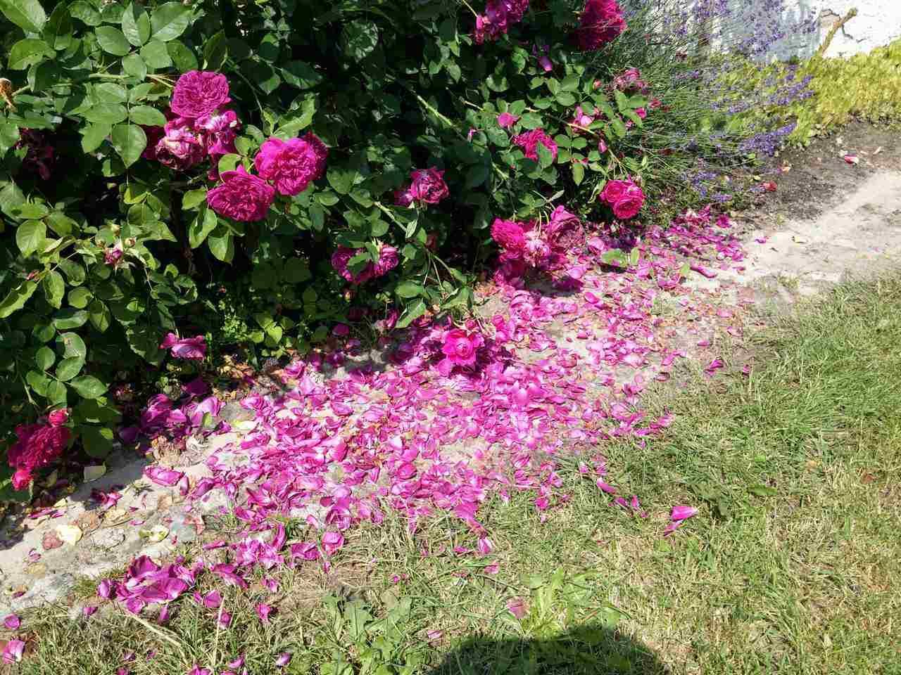 konfitury różane
