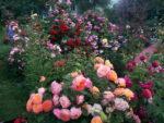 Najlepsze róże konfiturowe – kwiaty nie tylko do kuchni