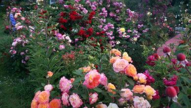 róże na konfitury