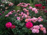Róże wielokwiatowe – klasa sama wsobie