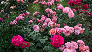 róże wielokwiatowe w ogrodzie