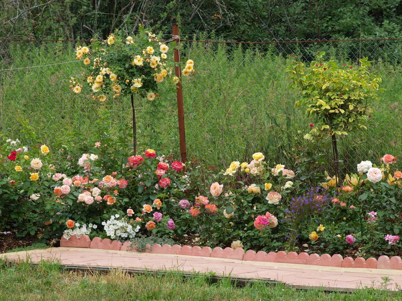 Róże pienne –  kwiatowe drzewka  nietylkodoogrodu