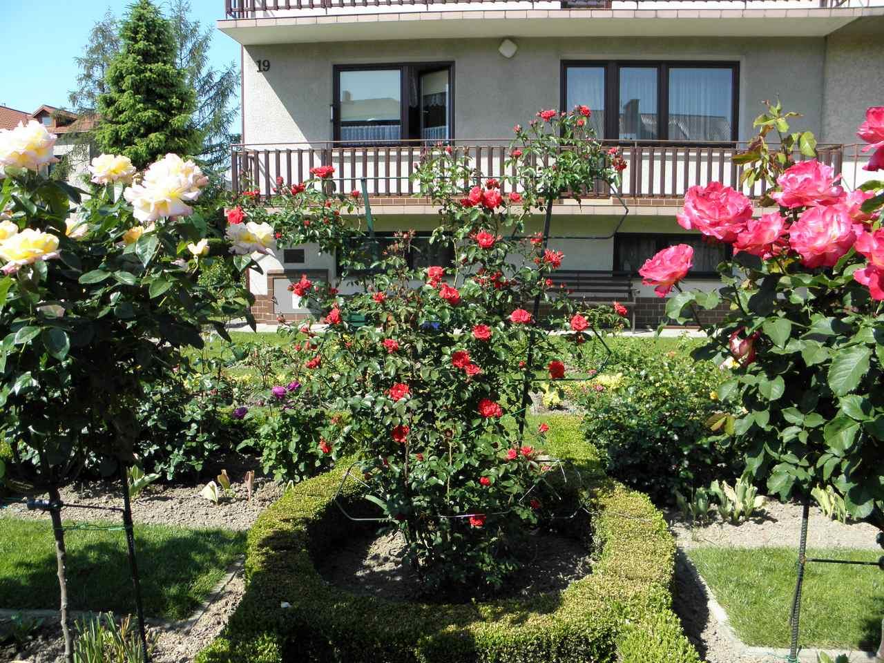 róże konkurs