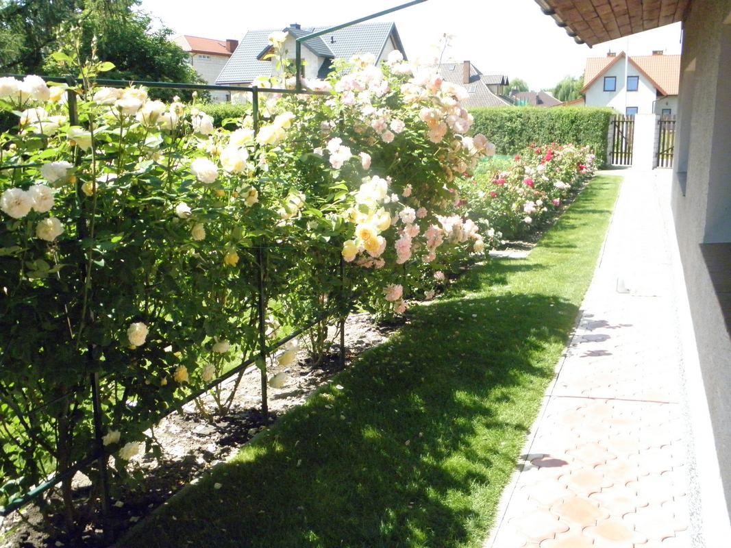 konkurs najpiękniejsza róża