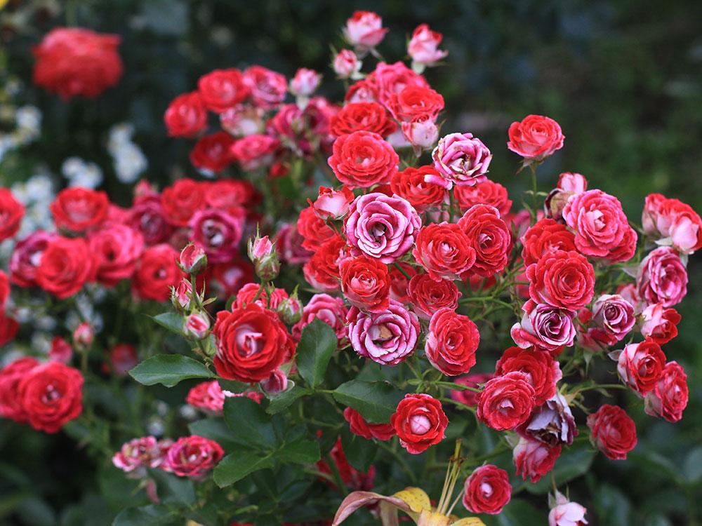 róże drobnokrzaczaste - uprawa