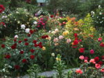 Róże okrywowe – wielkie efekty małym kosztem