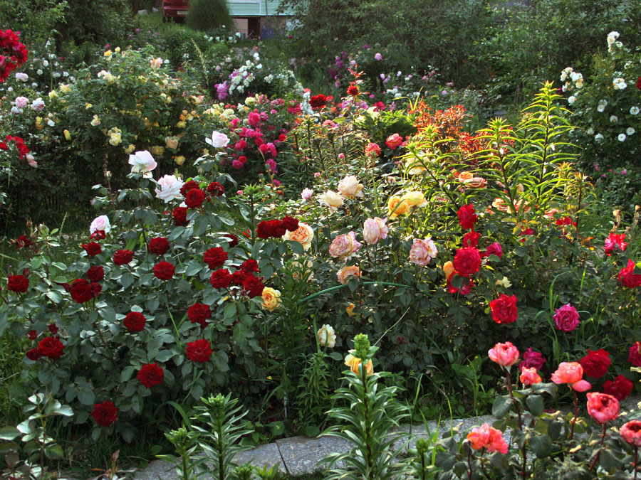 róże drobnokrzaczaste