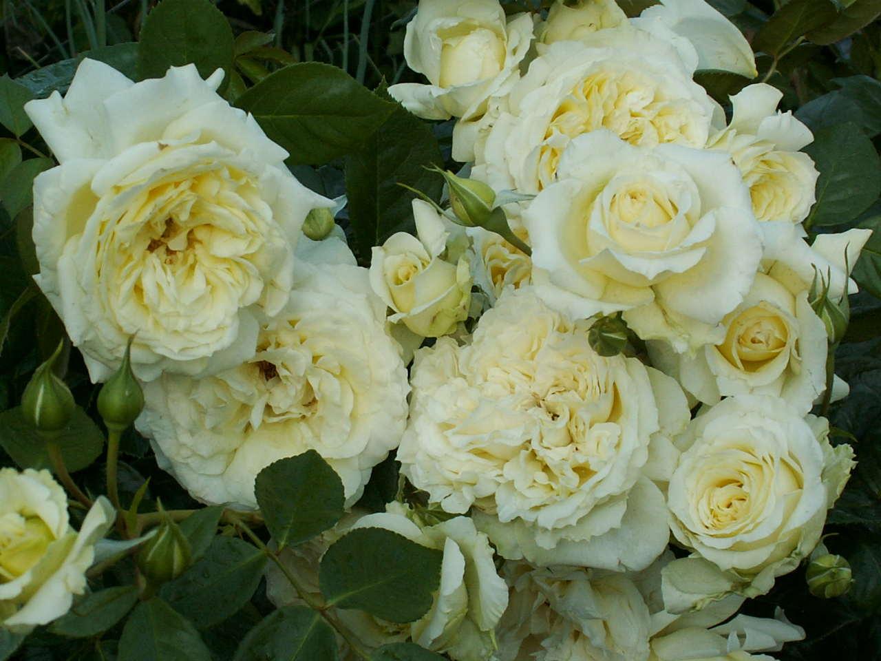 uprawa róż dla początkujących