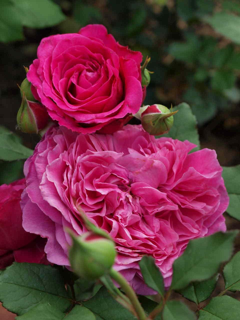 krzewy róż dla początkujących