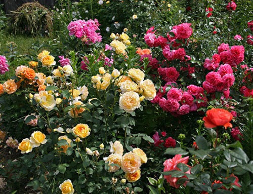 Najlepsze róże dla początkujących – już dziś zacznij swoją przygodę zogrodem
