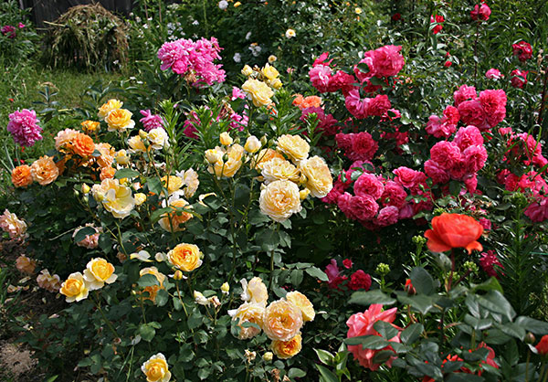 róże dla początkujących