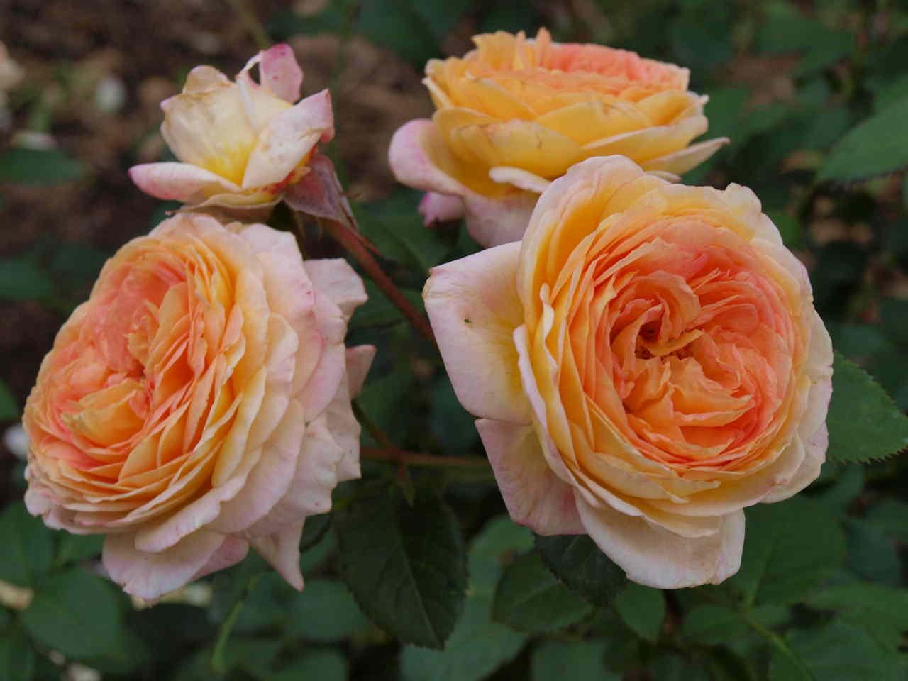 krzewy róż odporne nachoroby