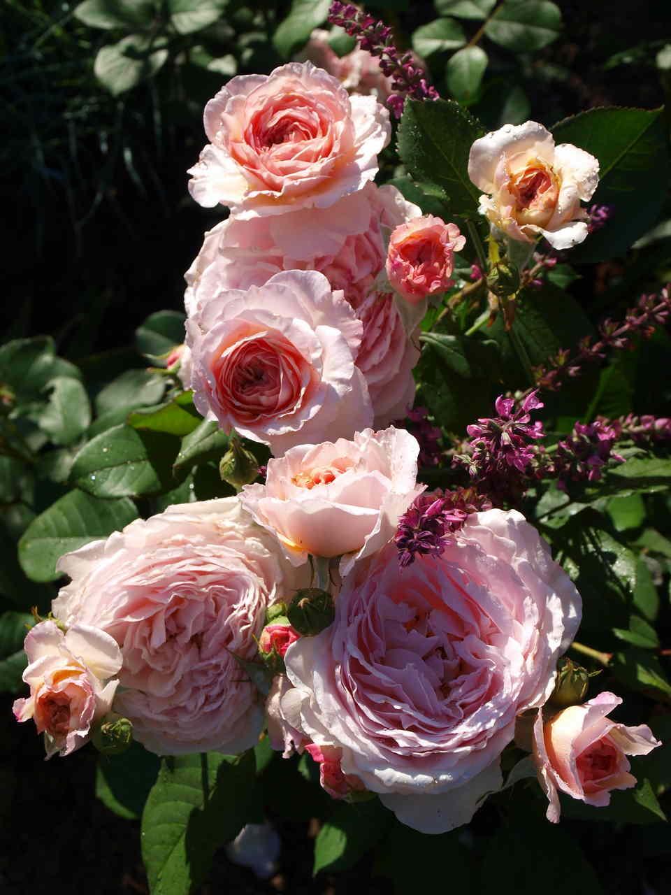 wytrzymałe krzewy róż