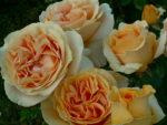 Róże odporne nachoroby – nasz wybór