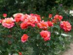 Róże ogrodowe – od przesyłki, aż do pięknych kwiatów