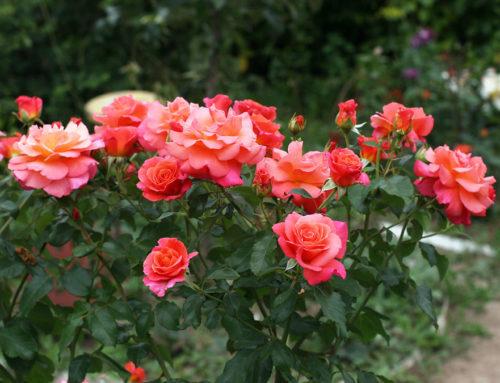 Róże ogrodowe – odprzesyłki, aż dopięknych kwiatów
