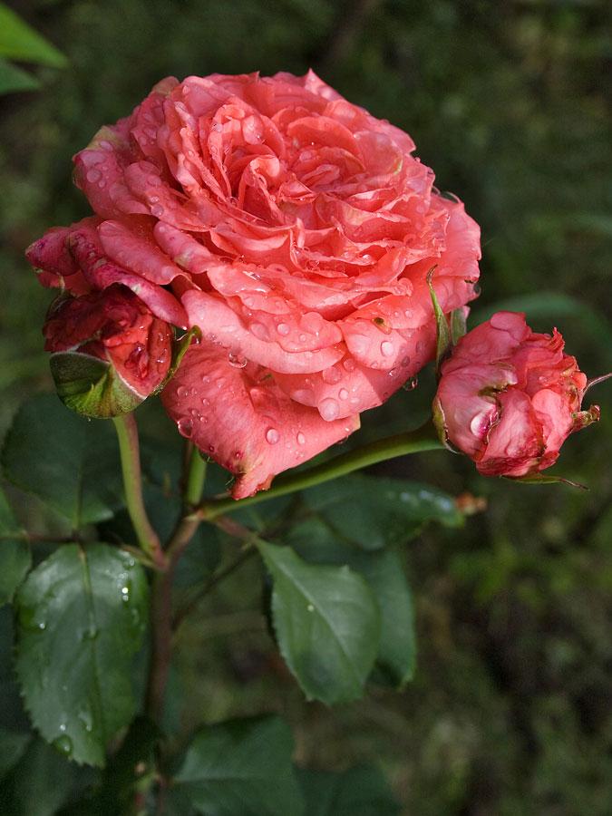 sadzenie róż ogrodowych