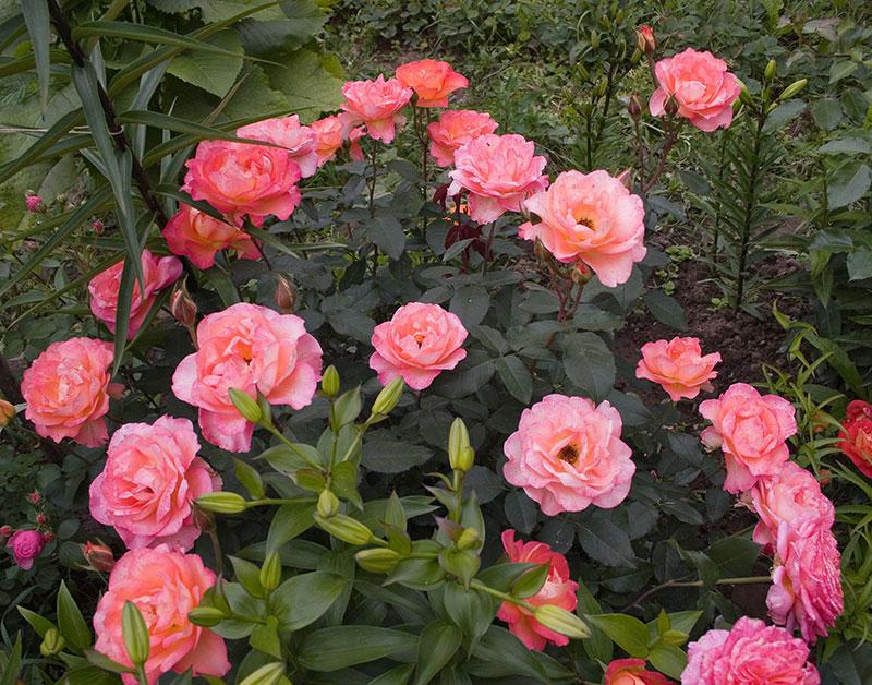 róże ogrodowe sadzonki