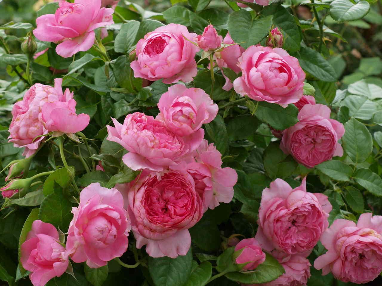 Róże tolerujące półcień – nasz wybór