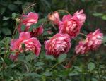 Róże – zimowanie, adobór okrycia