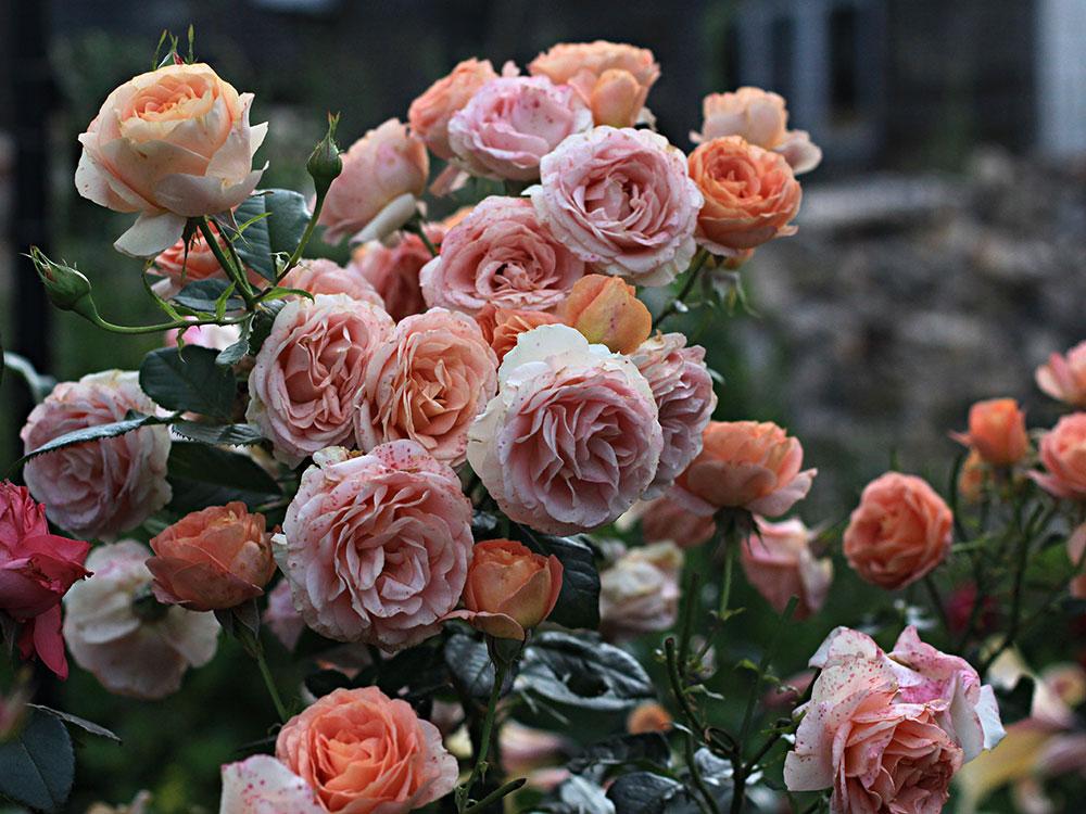 roże zimujące bezokrycia