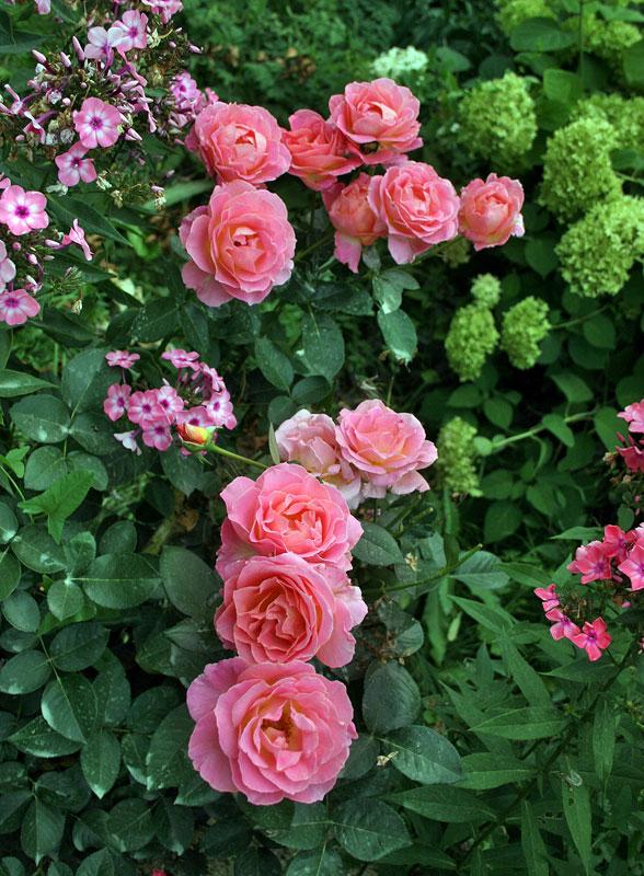 zimowanie róż