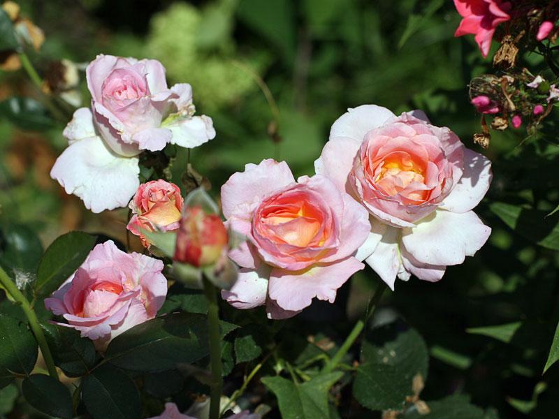 okrywanie róż nazimę