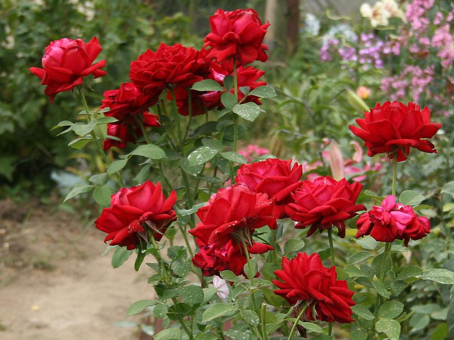 róże przeznaczone naubogie stanowiska