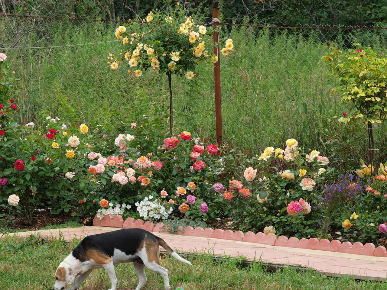 najlepsze róże pienne
